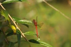Macho da libélula de Meadowhawk do rubi Imagem de Stock