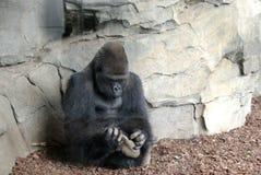 Macho de gorille image libre de droits