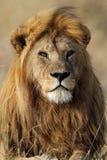 Macho de Lio com grande juba dourada, Serengeti Foto de Stock