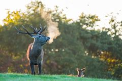 Macho de los ciervos comunes bajo luz de oro de la mañana Fotos de archivo