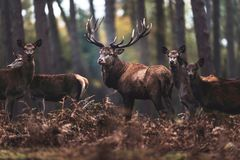 Macho de los ciervos comunes con los hinds en el bosque el Rin-Westphali del norte del otoño Imagen de archivo