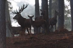 Macho de los ciervos comunes con los hinds en un bosque brumoso del otoño Fotografía de archivo libre de regalías