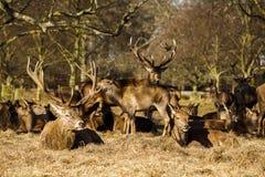 Macho de los ciervos comunes con la manada Foto de archivo