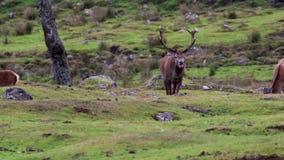 Macho de los ciervos comunes, elaphus del Cervus, durante celo con su harén dentro de los cuarzos ahumados NP, Escocia almacen de metraje de vídeo