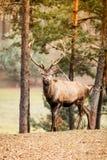 Macho de los ciervos comunes en bosque de la caída del otoño Fotos de archivo