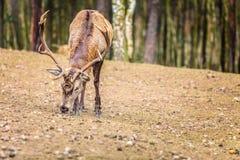Macho de los ciervos comunes en bosque de la caída del otoño Fotos de archivo libres de regalías