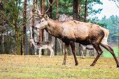 Macho de los ciervos comunes en bosque de la caída del otoño Imágenes de archivo libres de regalías