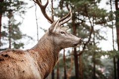 Macho de los ciervos comunes en bosque de la caída del otoño Foto de archivo libre de regalías