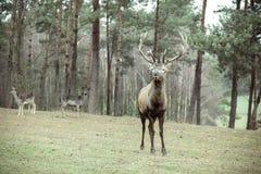 Macho de los ciervos comunes en bosque de la caída del otoño Fotografía de archivo libre de regalías