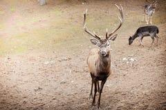 Macho de los ciervos comunes en bosque de la caída del otoño Imagen de archivo libre de regalías