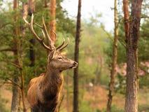 Macho de los ciervos comunes en bosque de la caída del otoño Imagenes de archivo