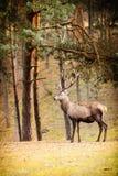 Macho de los ciervos comunes en bosque de la caída del otoño Fotografía de archivo