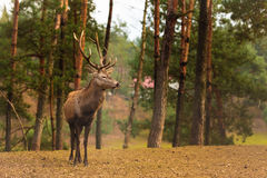 Macho de los ciervos comunes en bosque de la caída del otoño Foto de archivo