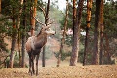 Macho de los ciervos comunes en bosque de la caída del otoño Imagen de archivo