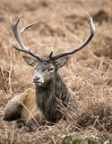 Macho de los ciervos comunes en el paisaje de Richmond Park durante los mares en celo imágenes de archivo libres de regalías