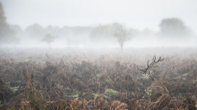 Macho de los ciervos comunes en paisaje de niebla atmosférico del otoño fotografía de archivo