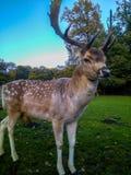 Macho de los ciervos comunes en parque del otoño Imagenes de archivo