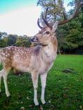 Macho de los ciervos comunes en parque del otoño Foto de archivo libre de regalías