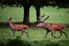 Macho de los ciervos comunes que persigue la gama imagenes de archivo