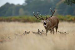 Macho de los ciervos comunes que ruge cerca de los hinds durante la rodera Imágenes de archivo libres de regalías