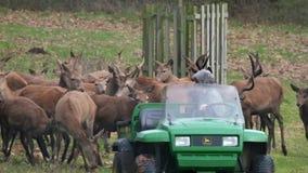 Macho de los ciervos comunes y de los ciervos en barbecho que es alimentado almacen de metraje de vídeo