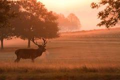 Macho de los ciervos con las cornamentas, en la salida del sol Imágenes de archivo libres de regalías