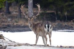 Macho de los ciervos en barbecho Imagen de archivo
