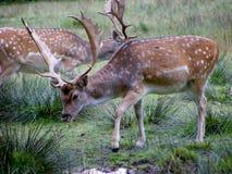 Macho de los ciervos en barbecho Fotografía de archivo libre de regalías