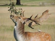 Macho de los ciervos en barbecho Fotos de archivo libres de regalías