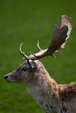 Macho de los ciervos en barbecho foto de archivo libre de regalías