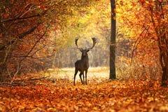 Macho de los ciervos en barbecho en bosque hermoso del otoño fotos de archivo