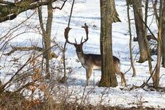 Macho de los ciervos en barbecho en el ambiente natural Foto de archivo