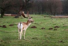 Macho de los ciervos en barbecho en tierra del parque Fotografía de archivo