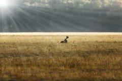 Macho de los ciervos en barbecho en luz anaranjada de la salida del sol Fotografía de archivo libre de regalías