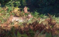 Macho de los ciervos en barbecho en maleza fotos de archivo libres de regalías