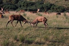 Macho de los ciervos en el tiempo rutting Imágenes de archivo libres de regalías