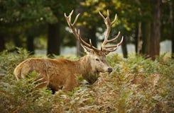 Macho de los ciervos en parkland Imagenes de archivo