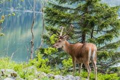 macho de los ciervos que camina cerca del lago imagenes de archivo