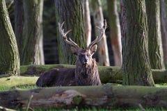 Macho de los ciervos rojos Imágenes de archivo libres de regalías