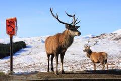 Macho de los ciervos rojos Foto de archivo libre de regalías