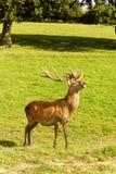 Macho de los ciervos rojos Fotos de archivo
