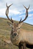 Macho de los ciervos rojos foto de archivo