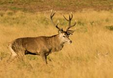Macho de los ciervos rojos imagen de archivo libre de regalías