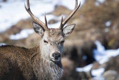 Macho de los ciervos rojos fotografía de archivo libre de regalías