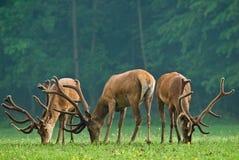 Macho de los ciervos rojos Imagenes de archivo