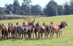 Macho de los ciervos rojos con los hinds. Fotos de archivo