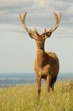 Macho de los ciervos rojos en terciopelo Imagen de archivo