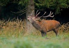 Macho de los ciervos rojos llamada Imagen de archivo libre de regalías