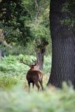 Macho de los ciervos rojos que ruge durante la estación rutting foto de archivo libre de regalías