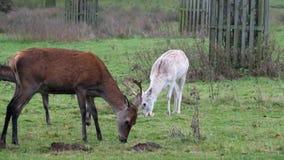 Macho de los hinds de los ciervos comunes y de los ciervos en barbecho almacen de metraje de vídeo